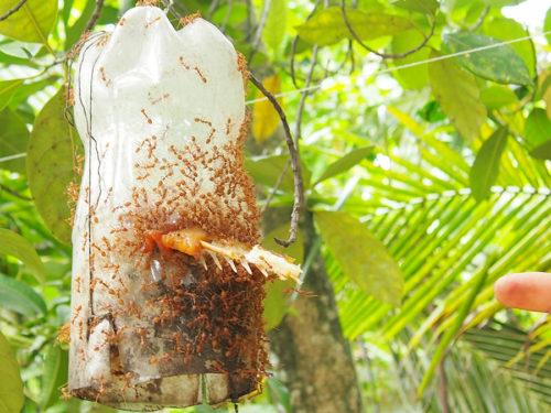 การเลี้ยงมดแดงแบบธรรมชาติบนต้นไม้