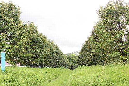 สวนทุเรียนแปลงใหญ่ ต.ทุ่งเบญจา อ.ท่าใหม่ จังหวัดจันทบุรี