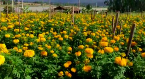 ทำการเพาะปลูกดอกดาวเรืองได้ผลดีกำลังออกดอกให้ผลผลิตจำนวนมากในช่วงนี้