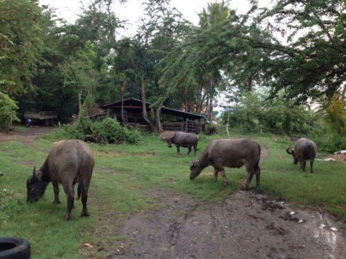 ควายที่เลี้ยงไว้รวมกัน 8 ตัว มีแหล่งหญ้าตามธรรมชาติและปลูกเสริมให้กินในพื้นที่นาของครอบครัวเอง