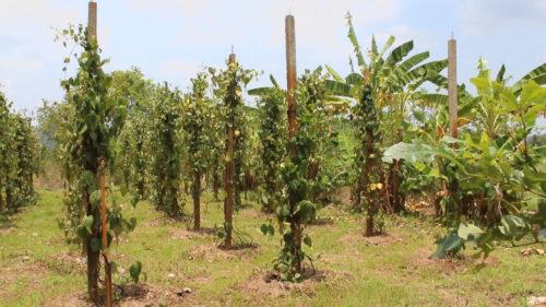 ลงทุนปลูกพริกไทย ประมาณ 2 งาน เพื่อใช้เป็นพืชทางเลือกเพิ่มความหลากหลายและรายได้ให้กับครอบครัว