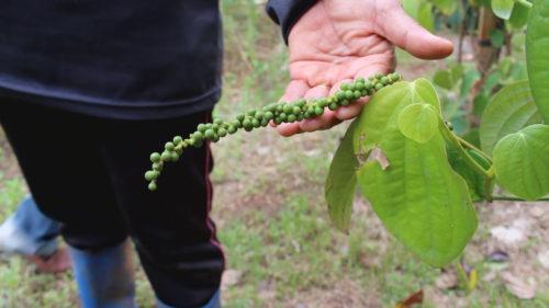 ผลผลิตพริกไทยในพื้นที่ 2 งาน