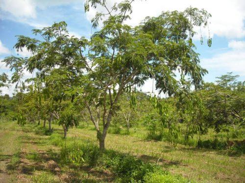 ต้นสะตอพันธุ์ตรัง 1