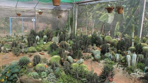 สวนกระบองเพชรที่บ้านหนองเสาเดียว ต.ท่าอ่าง อ.โชคชัย จ.นครราชสีมา