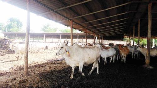 เลี้ยงวัวออกเนื้อหรือวัวขุนจำนวน 40-50 ตัว