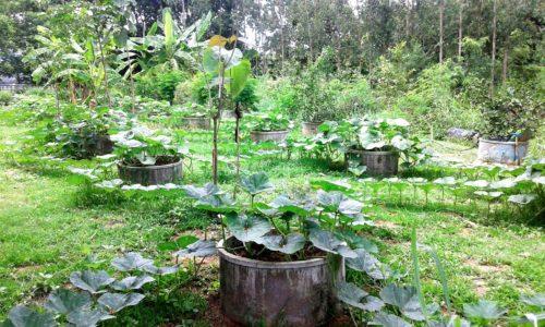 แปลงเกษตรที่ครูบุ้งและเด็กๆช่วยกันปลูกในโรงเรียนชุมชนบ้านหัน