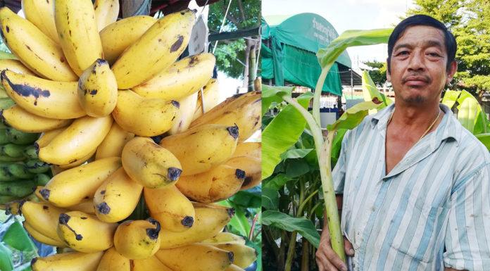 """สมบัติ สุขนันท์...ปลูกกล้วย 20 ปี """"อยากให้คนอื่นประสบความสำเร็จด้วย"""""""