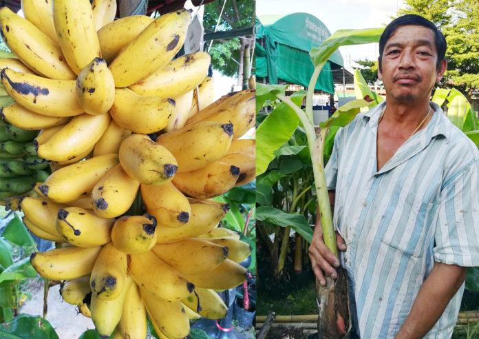 สมบัติ สุขนันท์...ปลูกกล้วย 20 ปี
