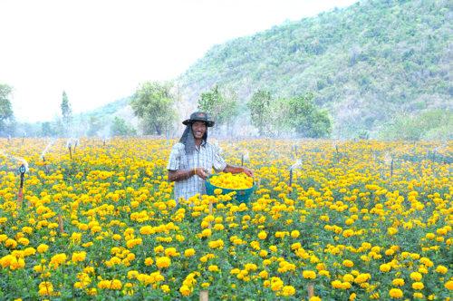 เกษตรกรผู้ปลูกดอกดาวเรืองที่อำเภอปากช่อง