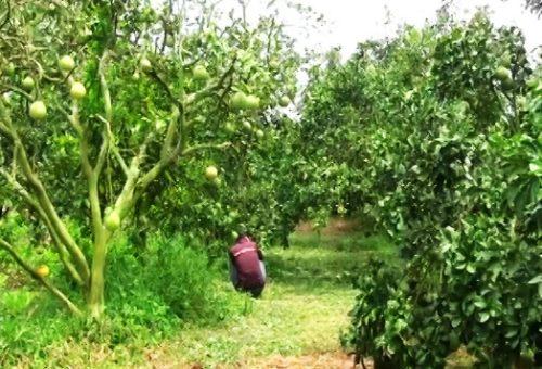 สวนส้มโอ นายทวี กรันสูงเนินอำเภอสูงเนินโคราช