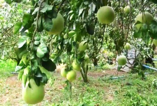 ผลผลิตส้มโอจากสวน