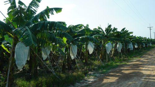 """ซีพี.และโดล เอเชีย ส่งเสริมปลูกกล้วยหอมเขียว """"คาเวนดิช"""" ในประเทศไทยจึงเกิดขึ้น โดยโดล เอเชีย คือผู้รับซื้อเพื่อทำตลาดที่มีอยู่ในมืออยู่แล้วในตลาดโลก"""