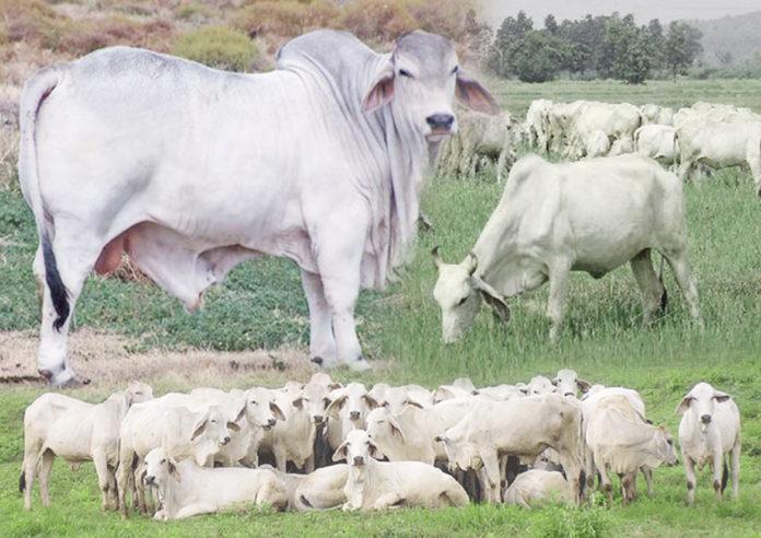 โคเนื้อแม่พันธุ์ สำนักพัฒนาพันธุ์สัตว์ กรมปศุศัตว์