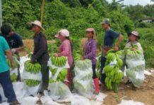 """""""กล้วยหอมเขียวคาเวนดิช"""" คงไม่ทำให้เกษตรกรหน้าเขียว?"""