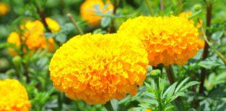 ดาวเรืองเหลืองสะพรั่งทั้งแผ่นดิน 500 ล้านดอก...ตุลาคมนี้