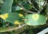 """เปิดสูตร! กรมวิชาการเกษตร…ป้องกันโรค """"ปื้นเหลืองในกล้วยไม้"""""""