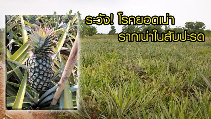 ระวัง! โรคยอดเน่า-รากเน่าในสับปะรด ป้องกันอย่างไร? มีคำตอบ