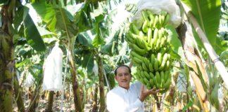 ส่งเสริมปลูกกล้วยหอมเขียว 6 หมื่นไร่...ซีพีจับมือโดล รับซื้อคืน ส่งออก 100%