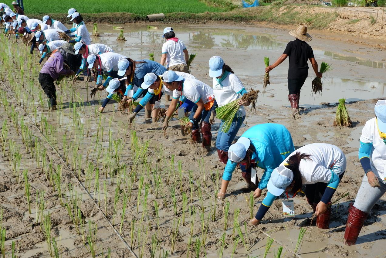 เกษตรกรรุ่นใหม่ ทดลองดำนาแบบดั้งเดิม