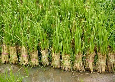 การใช้หญ้าแฝกเป็นอีกหนึ่งวิธีในการอนุรักษ์ดินและน้ำ ที่นิยมกัน เนื่องจากใช้ต้นทุนต่ำ เกษตรกรสามารถดำเนินการเองได้