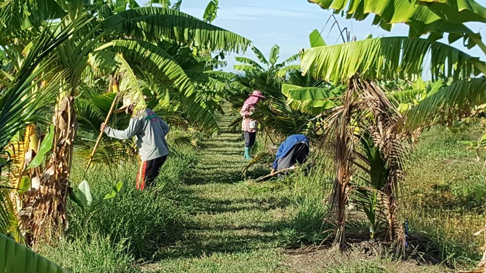 เกษตรกรกำลังกำจัดวัชพืชในร่องสวนมะพร้าว