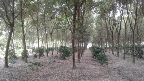 ปลูกต้นกาแฟเสริมต้นยางพารา