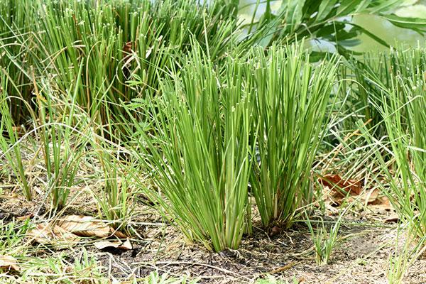 พด. ส่งเสริมปลูกหญ้าแฝกในสวนปาล์มน้ำมัน แก้ปัญหาการพังทลายของดิน-ลดต้นทุนค่าปุ๋ยเคมี