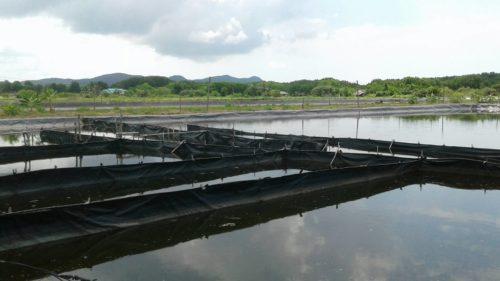 บ่อพักน้ำ ที่ใช้เลี้ยงกุ้งจะมีหลายบ่อ เพื่อกรองให้ได้ที่สะอาดและใสที่สุด