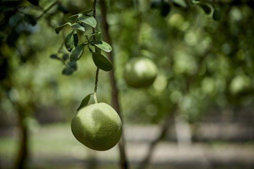 ผลผลิตส้มโอขาวแตงกวา จากสวนโชคชัย จังหวัดชัยนาท