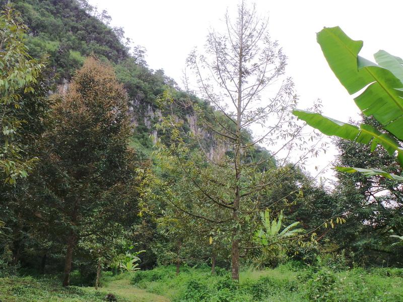 ต้นทุเรียนเป็นโรครากเน่า-โคนเน่า ใบร่วง ยืนต้นตาย