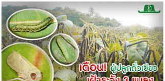 เกษตรกรผู้ปลูกถั่วเขียว เฝ้าระวังการระบาดของ 3 แมลงศัตรูพืช ได้แก่ เพลี้ยจักจั่น หนอนม้วนใบ และหนอนกระทู้ผัก