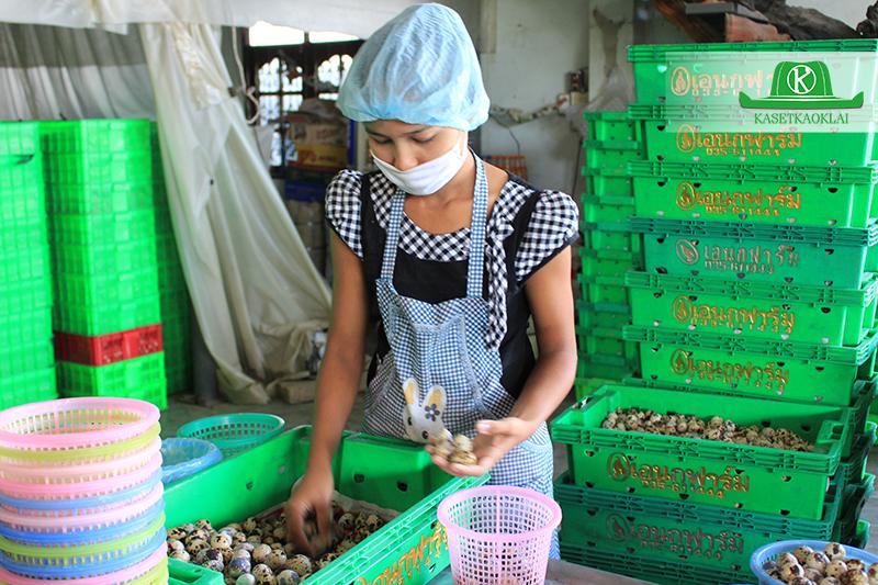 ขั้นตอนการคัดไข่นกกระทาเพื่อเตรียมขาย