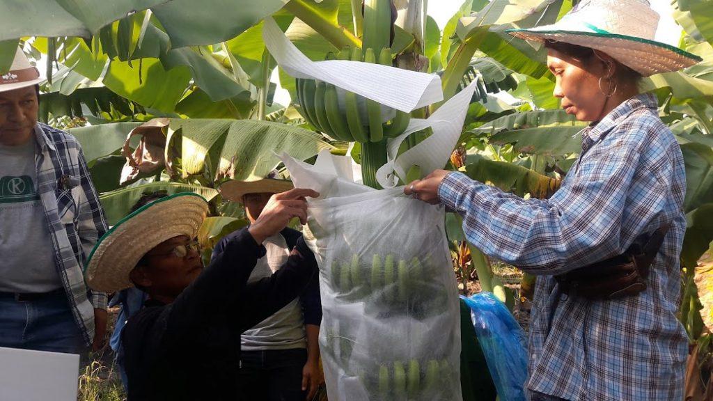 สาธิตขั้นตอนการห่อกล้วยและสวมถุงคลุมกล้วย