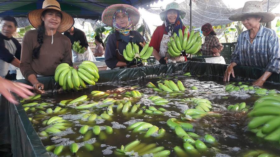 ดูการทำความสะอาดกล้วยก่อนที่จะนำไปชั่งน้ำหนักและบรรจุใส่กล่องเพื่อส่งออก
