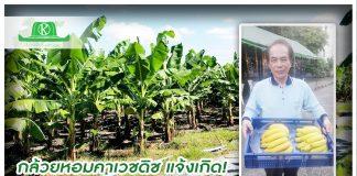 """นักธุรกิจไต้หวันปลูกกล้วยคาเวชดิชที่สุพรรณบุรี """"มั่นใจไทยนิยมไม่แพ้หอมทอง"""""""