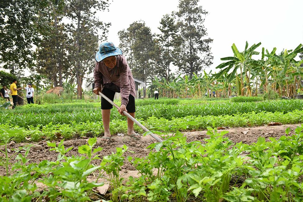 ชาวบ้านในชุมชนปลูกผัก ในแปลงของตนเอง