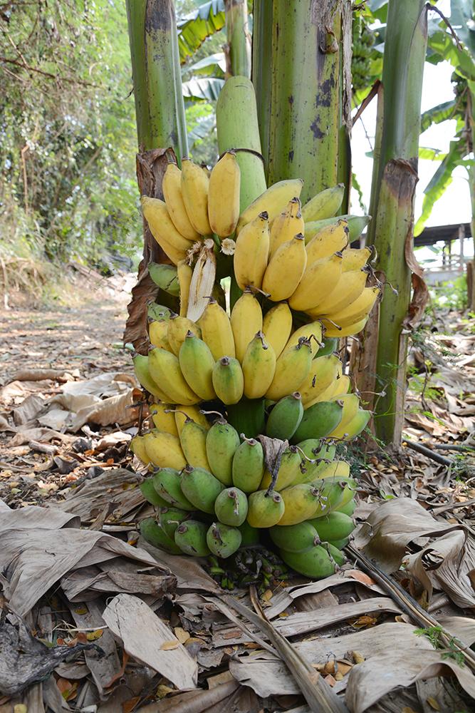 กล้วย 1 เครือ มีน้ำหนักกว่า 40 - 50 กิโลกรัม