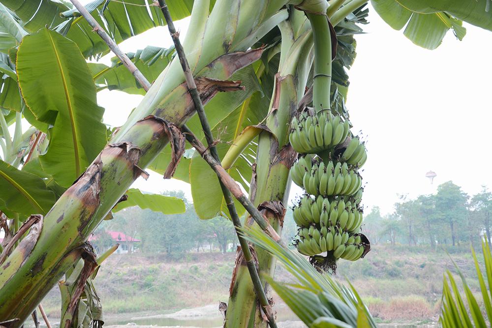 """เมื่อกล้วยโตต้องใช้ """"ไม้ค้ำ"""" พยุงต้นกล้วยไม่ให้ล้ม"""