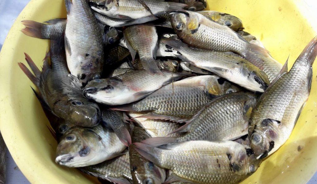 ปลาหมอสีคางดำที่จับได้