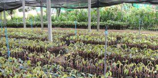 กรมวิชาการเกษตรมอบต้นพันธุ์ทุเรียนคืนสู่พื้นที่ปลูกเมืองนนท์