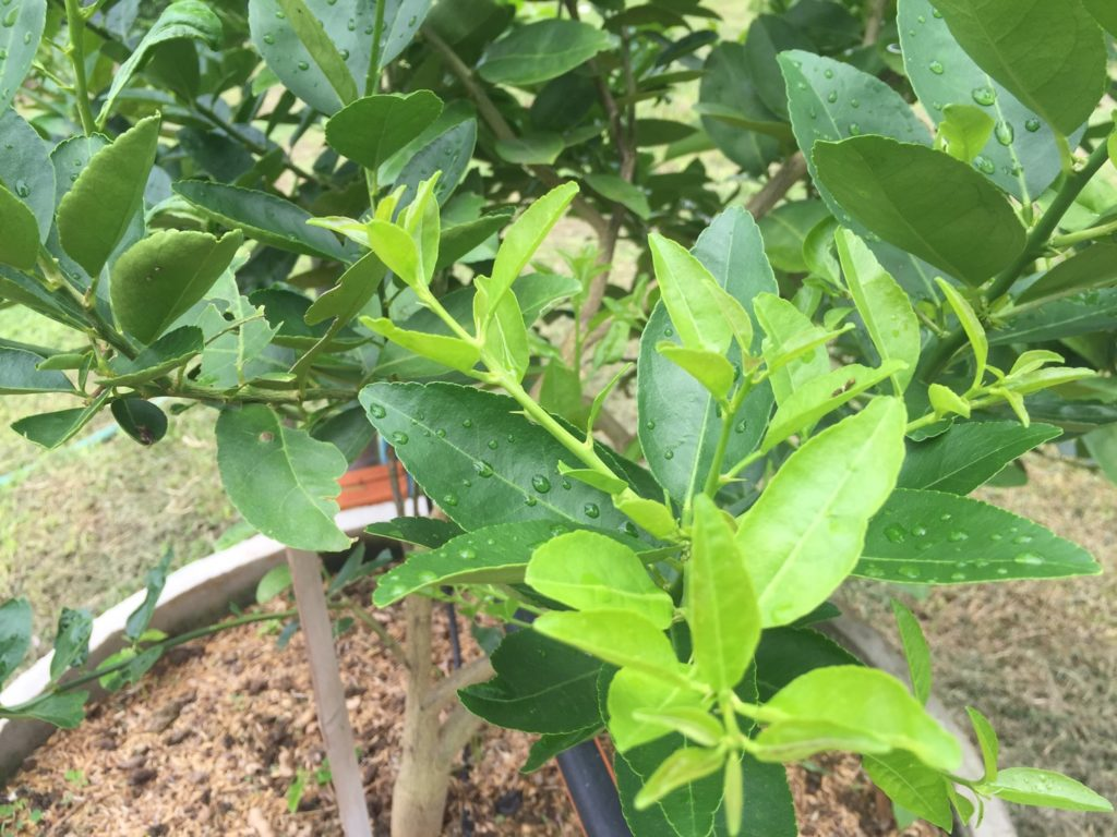สวนมะนาวเตรียมรับมือเพลี้ยไก่แจ้ส้ม