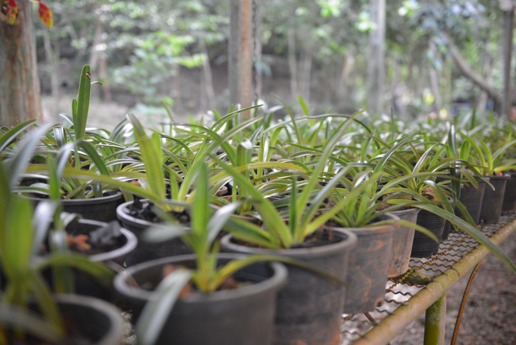 กรมวิชาการเกษตรร่วมอนุรักษ์ปล่อยรองเท้านารีเหลืองกระบี่คืนสู่ป่า