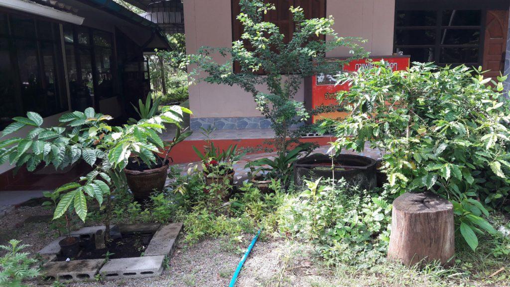 หน้าบ้านลุงเหนอได้ทดลองทำกาแฟแฟนซี...1 ต้น มี 2 พันธุ์ คือโรบัสต้า และอาราบีก้า อยู่ด้วยกัน