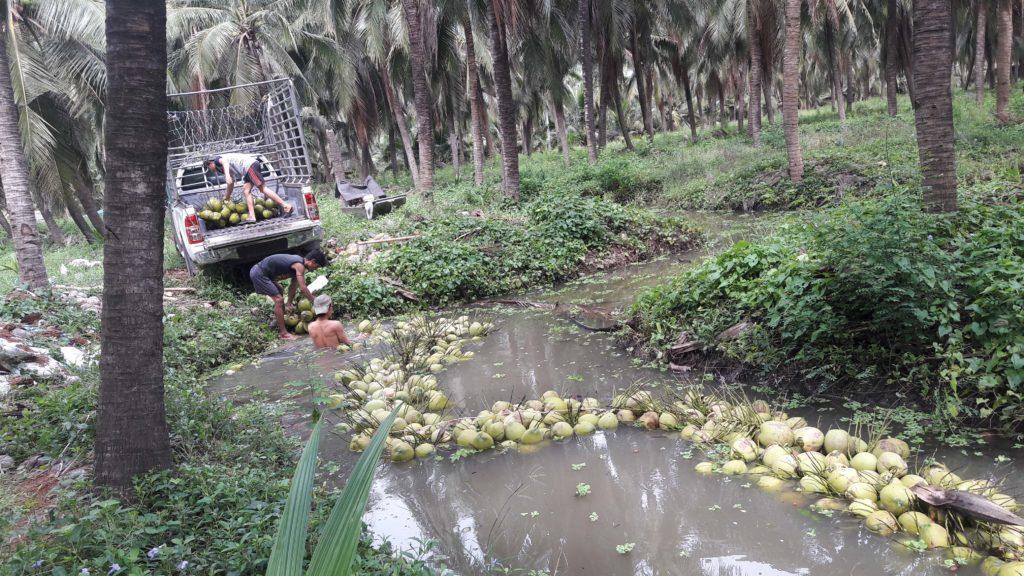 """เจาะใจ """"ประยูร วิสุทธิไพศาล"""" เกษตรกรแกร่งดำเนินสะดวก...ส่งมะพร้าวน้ำหอมขายทั่วโลก"""