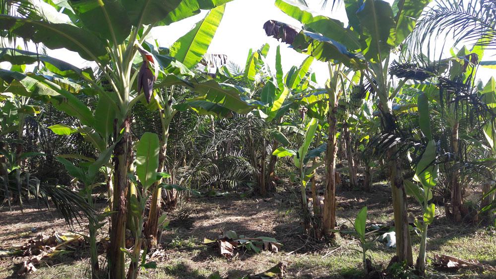ปลูกกล้วยในสวนปาล์ม