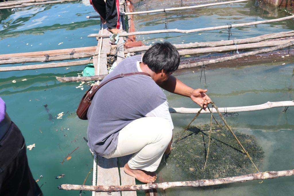 กระชังปลา ที่ใช้เพาะเลี้ยงสาหร่ายพวงองุ่่น