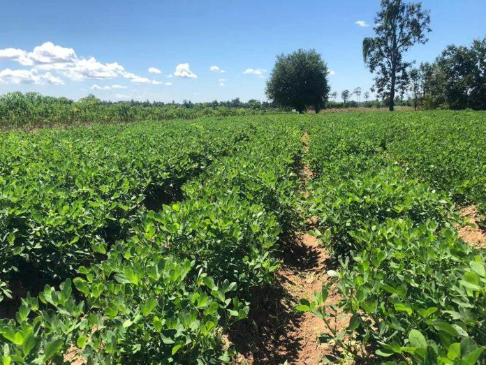 กรมส่งเสริมการเกษตรผลักดันการผลิตเมล็ดพันธุ์ถั่ว กระจายเมล็ดพันธุ์ดีสู่ชุมชน