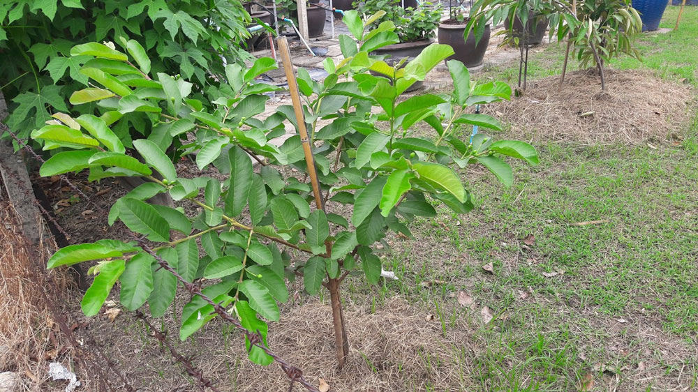 ต้นฝรั่งที่ได้มาจากกิ่งตอน...ต้นนี้ปลูกลงดิน เริ่มออกดอกแล้ว