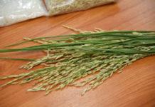 อย่าหลงเชื่อใช้เมล็ดพันธุ์ที่ผิดกฎหมายและไม่มีคุณภาพ สุดท้ายทำลายชื่อเสียงข้าวหอมมะลิไทย