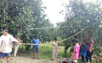 เร่งคืนชีพ สวนส้มโอทับทิมสยาม...ส้มโอ GI เสียหายกว่า 1,000 ไร่